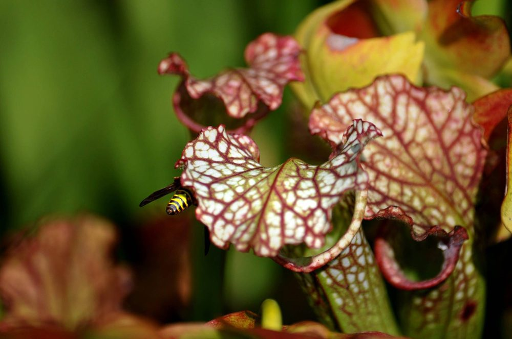 Laura-Russell-bee-pitcher-plant-1000